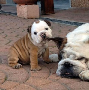 bulldog-puppy-cute-dog-photography-4__605